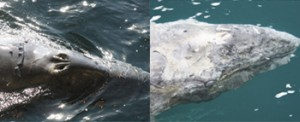 Image of Gray Whale Calf becoming emaciated