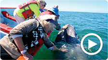 Youtube Video - California Gray Whale