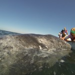 ARCTIC DRILLING THREATENS GRAY WHALES AND POLAR BEARS