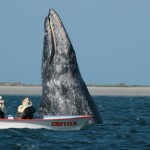 WHITE GRAY WHALE COMES BACK TO SCAMMON'S