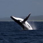 GRAY WHALES STATS ON ENTANGLEMENTS ARE HIGH