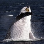 HUMPBACK WHALES TO BE DELISTED – NOT GOOD NEWS