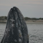 OBAMA ACTS TO PROTECT GRAY WHALES FROM OIL INDUSTRY