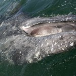 UNDERSEA PHOSPHATE MINE THREATENS GRAY WHALES