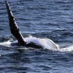 MAKAH TREATY RIGHTS COULD INCLUDE HUMPBACKS, RIGHT, FIN, SPERM AND MORE